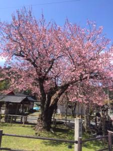 27.4.17百年桜